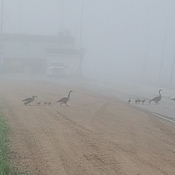geese n babies one foggy morning