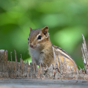King chipmunk