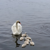 Swans at the Bay of Quinte