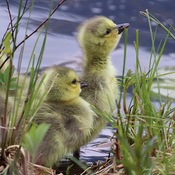 Two adorable Goslings