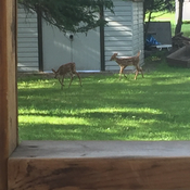 Twin deer playing in my back yard 😊