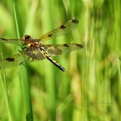 A female Calico Pennant