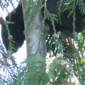 Strange animal in a tree in our backyard