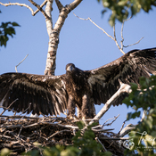 Eaglet Testing Wings on Nest