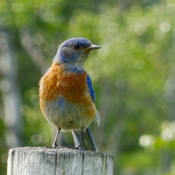 WATCHFUL, PROTECTIVE WESTERN BLUEBIRD!