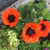 First poppies of the season
