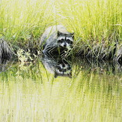 Raccoon having a drink of water