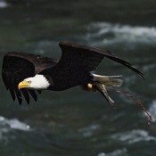 Bald Eagle stealing a fish