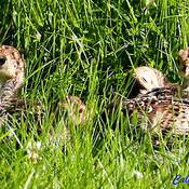 Baby Wild Turkeys