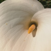 Calla Lily in all it's beauty!!