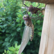 Dragonfly drying his new wings