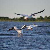 Pelicans on lake Winnipeg