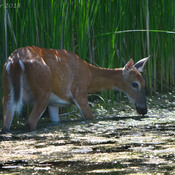 A female white tailed deer