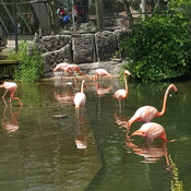 Beautiful flamingos at Toronto Zoo