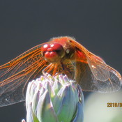 A Red Dragonfly!