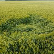More Elmira Crop Circles...