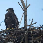 Female Bald Eaglet
