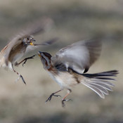 Battling Sparrows