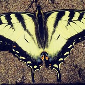 Machaon Tigré