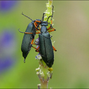 Two beetles, Elliot Lake.