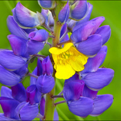 Yellow flower with a lupin, Elliot lake.