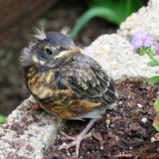 baby robin on the ground