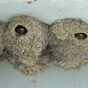 cliff swallows under a bridge