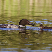 Loons and Common garter snake