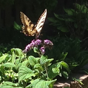 Butterfly on the Heliotrope