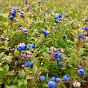 blueberries in bloom!