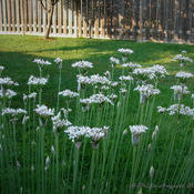 Garlic Chives Flowers