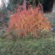 Wedding bush changing to Autumn colour. Mrs Law gave me a slip 38 years ago.