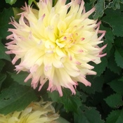 dahlia's from the garden plus