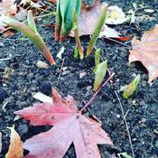Is it spring Already?.. My tulips think it is...