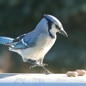 MR, BlueJay