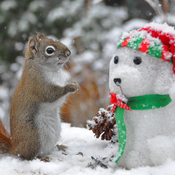 Red squirrel admires his snowman.