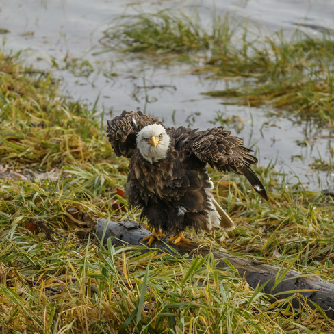Thousands Of Eagles Are Gathering To Feast On Salmon Harrison Mills Bc