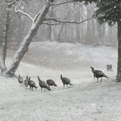 Wild Turkeys Out For A Wintery Walk