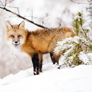 Red Fox in Snow 01