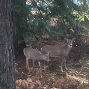 Momma deer and Fawn. Momma disappeared did you shoot her? Pregnant yearly.
