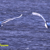 Trumpeter swans in flight at Ault island
