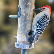 Male Red Bellied Woodpecker Georgetown, Ontario, Canada