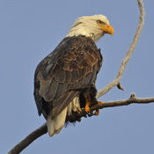 Early morning bald eagle