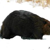 Beaver in the snow