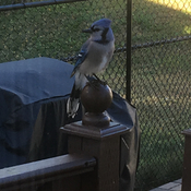 A handsome Blue-Jay