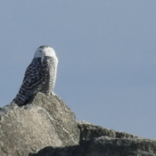 Snowy owls return to Bronte harbour.