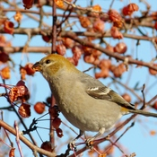 Pine Grosbeak feast