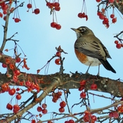 Wintering Robins