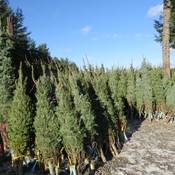 Christmas Trees 4 Sale