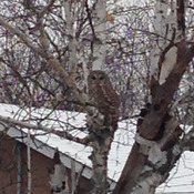 Barred Owl on a snowy Kingston morning.